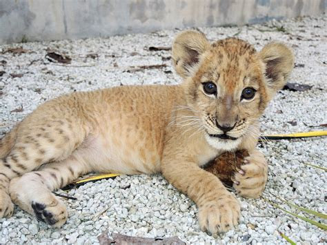 Meet Zuri Miami Lion Cub Joins 2 Other Cubs At Maryland