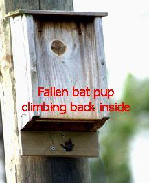 pin  kim sussman  beautiful bats bat house plans
