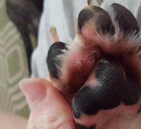dog broken toe  symptoms   splint