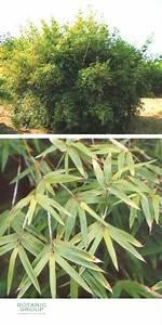 Bambus Als Zimmerpflanze : bambus bambusa multiplex ~ Eleganceandgraceweddings.com Haus und Dekorationen