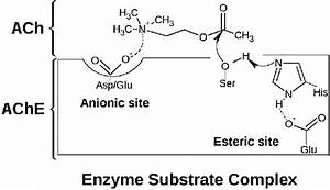 Formation Of Enzyme Substrate Complex By Acetylcholine And