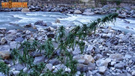 cultiver du cannabis en climat hostile du growshop alchimia