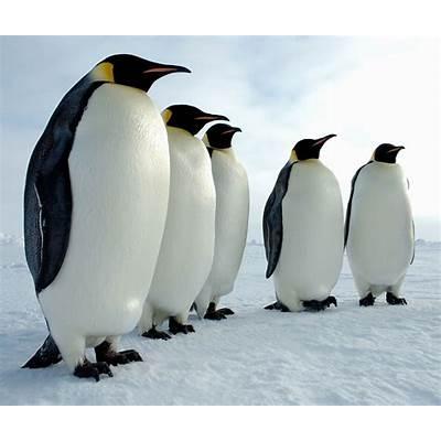 Emperor Penguin « Big Animals