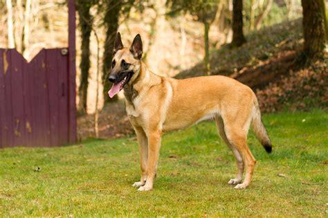belgischer schaeferhund malinois rassebeschreibung
