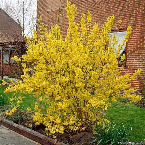 forsythia shrubs forsythia lynwood gold forsythia x intermedia forsythia perennials from american meadows