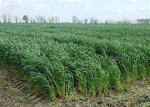 Warm winter and rain challenge wheat crop | Mississippi ...