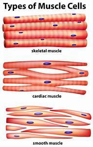 Diagrama Que Muestra Los Tipos De C U00e9lulas Musculares