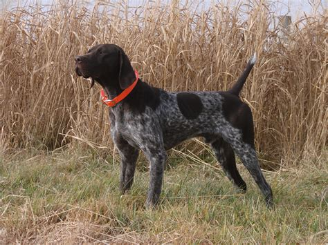 gun dogs utah german shorthaired pointer breeders dog