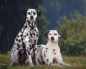 Dalmatian Dog Breed Info, Pictures | Pets World