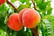 Georgia Peach Tree
