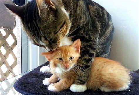 Adopting An Adult Cat Vs. A Kitten
