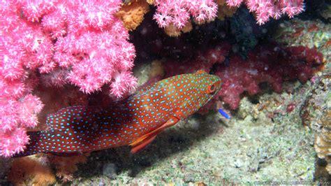 grouper sea spotted miniatus