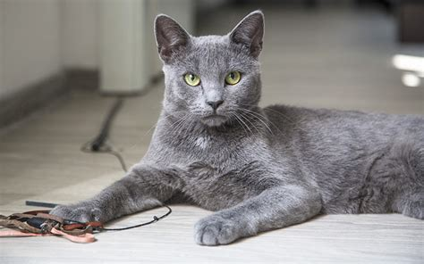 gray cat names fluffy grey kitten with blue eyes www pixshark com images galleries with a bite