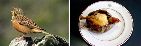 ortolan cuisine illegal and controversial food from around the