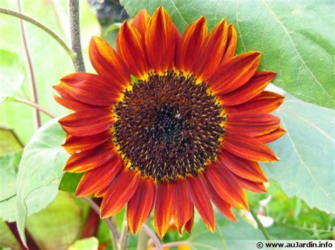 soleil tournesol helianthus helianthe conseils de culture
