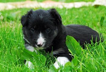 border collie club schweiz welpenlistejunghunde