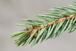 white spruce picea glauca tree facts habitat