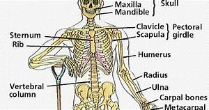 Human Body Systems And Their Organs  Skeletal System