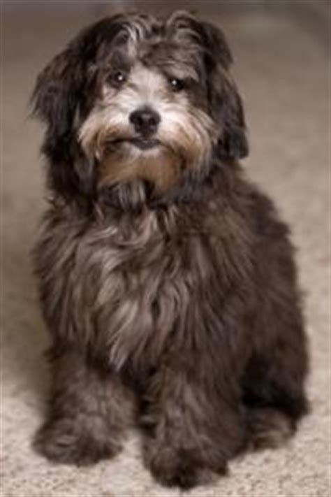 black lhasa apso poo breeds picture