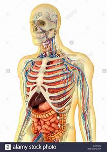 Transparent Human Body With Internal Organs  Nervous