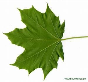 Ahorn Frucht Name : spitz ahorn acer platanoides blatt blattunterseite bestimmen spitz ahorn ~ Frokenaadalensverden.com Haus und Dekorationen