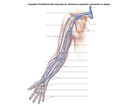 Diagram Of Arm Vessel by Veins Of The Arm