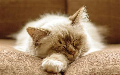 fluffy cat images hd desktop wallpapers  hd