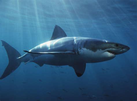 Planet Earth Animals Wallpaper - cool shark wallpapers wallpapersafari