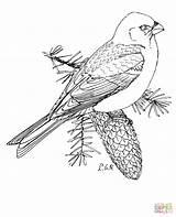 Coloring Grosbeak Pine Bunting Printable Snow Marten Drawing Bird Crafts Supercoloring Nature Select Cartoons Animals Designlooter Templates Paper Categories 290px sketch template