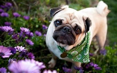 Pug Desktop Pugs Wallpapers Dog Resolution