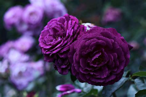 rose violet  ultra hd wallpaper  background image
