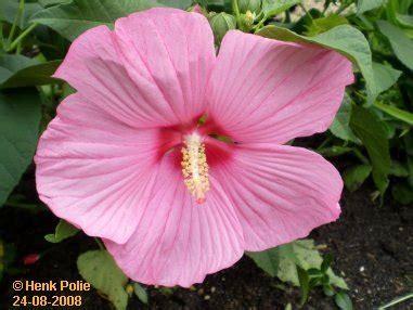 kamerplant met rose bloemen augustus tuin kalender het hele jaar door een tuin met