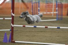 flying poodles images   poodle dogs animals