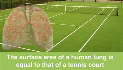Surface Area Of A Human Lung???  Scientific Animations