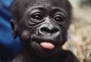 Baby Gorilla Sticking Tongue Out