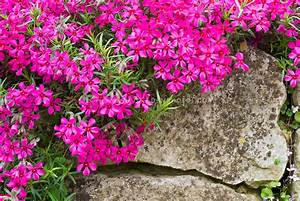 Phlox subulata 'Scarlet Flame' | Plant & Flower Stock ...