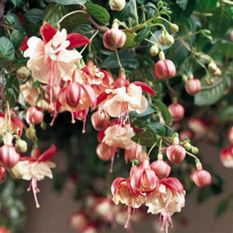 fuchsia hybrid swingtime trailing fuchsia fuchsia hybrid proven winners