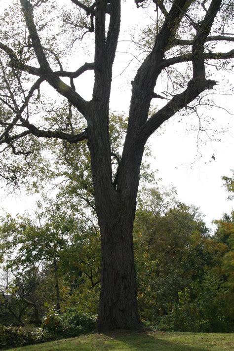 river birch delaware trees