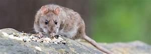 Was Tun Gegen Ratten : vorsorge gegen ratten gemeinde bobenheim roxheim ~ A.2002-acura-tl-radio.info Haus und Dekorationen