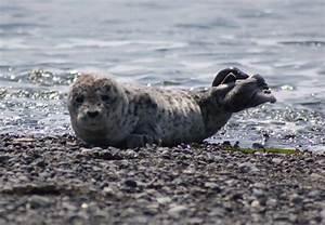 Harbor Seal - San Juan Island National Historical Park (U ...