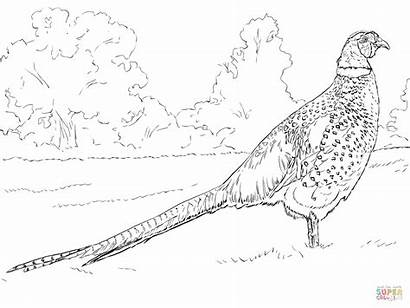 Coloring Pages Bird Ringneck Male Mongolian Pheasant