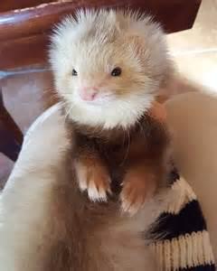 Fluffy Baby Ferret