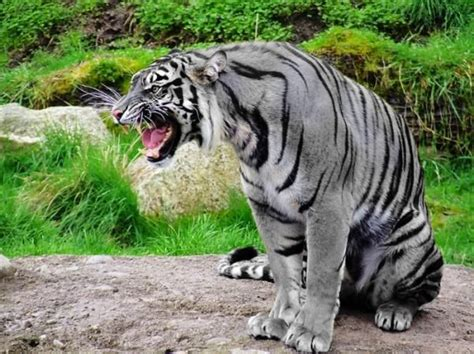 Animals Pets The Rare Maltese Blue Tiger Thought