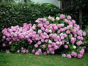 Blaudünger Für Hortensien : ausgezeichnete hortensienneuheiten tipps f r das gartenjahr 2013 von garten sc ~ Michelbontemps.com Haus und Dekorationen