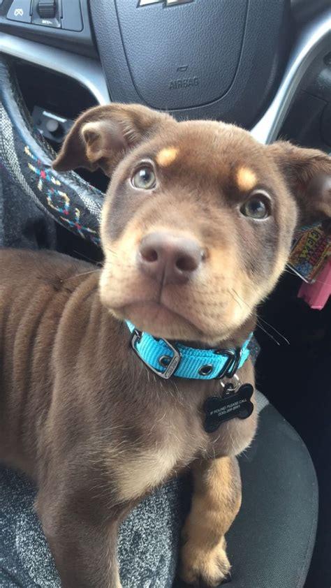 best 25 pitbull mix breeds ideas on doberman