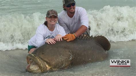 grouper goliath sanibel caught fish fishing beach pound huge surprise edt april published pm