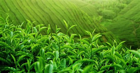 Background Crop Green Hill Slopes With Fresh Tea Crop Plantation Growing
