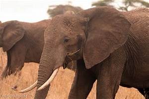 Elephant poaching costs African nations $25 million a year ...