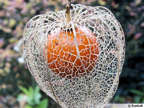 ou acheter des lanternes volantes physalis amour en cage alk 233 kenge lanterne japonaise coqueret du p 233 rou
