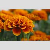 Marigold Flower Wallpaper | 1280 x 800 jpeg 117kB